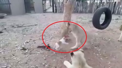 Dog defeated the lions very Smartly with his bravery watch video