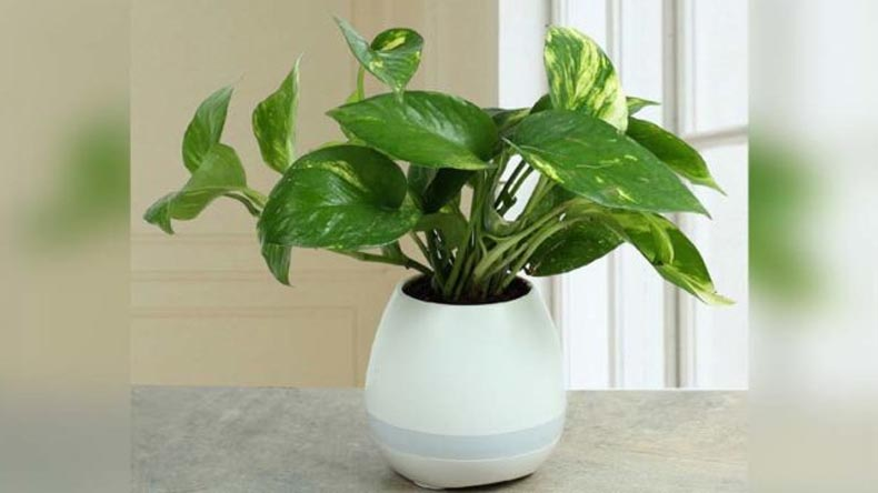Money Plant Vastu Shastra Tips: When place money plant in house be careful for directions says vastu