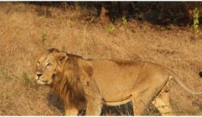 Eight Asiatic lions Covid Positive at Hyderabad